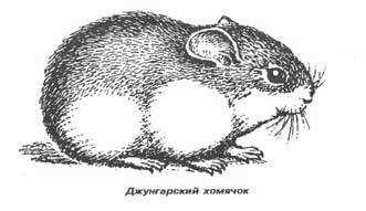 Морда...  Джунгарский хомячок (Phodopus sungarus) изучен луч- ше всего.